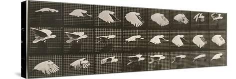 """Album sur la décomposition du mouvement : """"Animal locomotion"""". Le Perroquet volant-Eadweard Muybridge-Stretched Canvas Print"""
