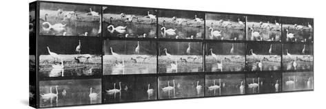 Album sur la décomposition du mouvement:Animal Locomotion/cygnes et flamands-Eadweard Muybridge-Stretched Canvas Print