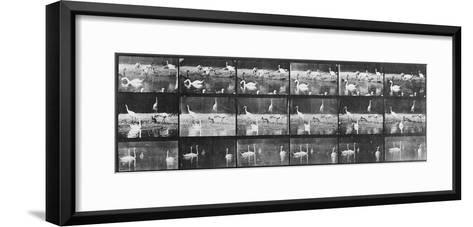 Album sur la décomposition du mouvement:Animal Locomotion/cygnes et flamands-Eadweard Muybridge-Framed Art Print
