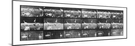 Album sur la décomposition du mouvement:Animal Locomotion/cygnes et flamands-Eadweard Muybridge-Mounted Giclee Print