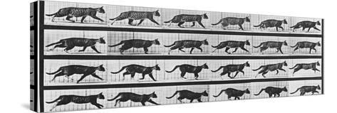 Album sur la d?composition du mouvement: Animal Locomotion: chat-Eadweard Muybridge-Stretched Canvas Print
