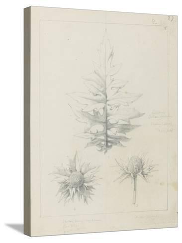 Etude de feuilles de echirops, de sphoerophalus, chardon cultivé, de chardon sauvage de la mer, de-Robert-Victor-Marie-Charles Ruprich-Stretched Canvas Print