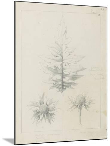 Etude de feuilles de echirops, de sphoerophalus, chardon cultivé, de chardon sauvage de la mer, de-Robert-Victor-Marie-Charles Ruprich-Mounted Giclee Print