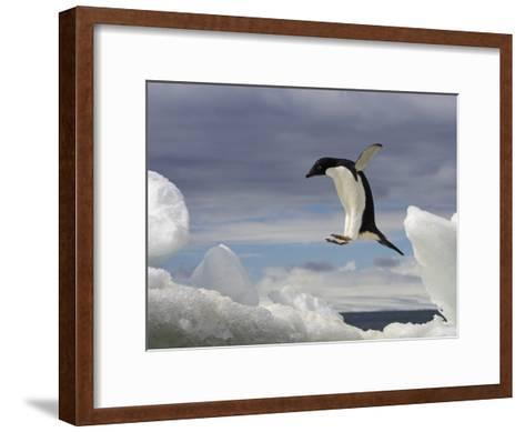 An Adelie Penguin, Pygoscelis Adeliae, Jumping on an Iceberg-Ralph Lee Hopkins-Framed Art Print