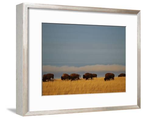 Bison Graze on the Shortgrasses of a Wyoming Prairie-James P^ Blair-Framed Art Print