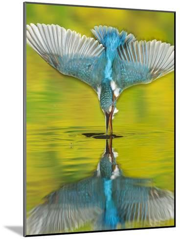 An Adult Male Common Kingfisher, Alcedo Atthis, Dives into the Water-Joe Petersburger-Mounted Photographic Print