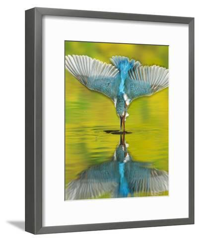 An Adult Male Common Kingfisher, Alcedo Atthis, Dives into the Water-Joe Petersburger-Framed Art Print