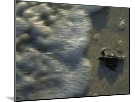 A Newly Hatched Green Turtle Marches to the Sea-Kenneth Garrett-Mounted Photographic Print
