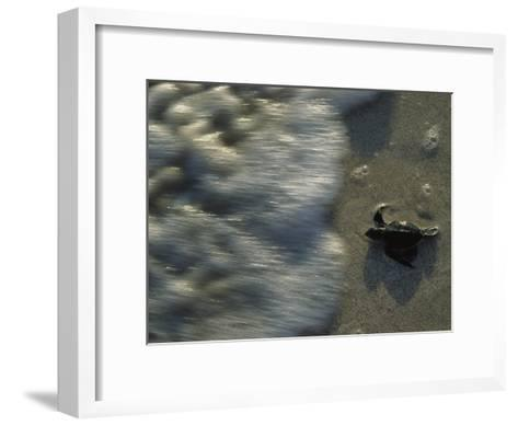 A Newly Hatched Green Turtle Marches to the Sea-Kenneth Garrett-Framed Art Print