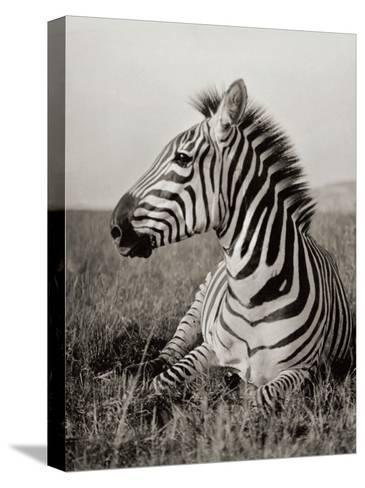 A Burchell's Zebra at Rest in the African Terrain-Carl E. Akeley-Stretched Canvas Print