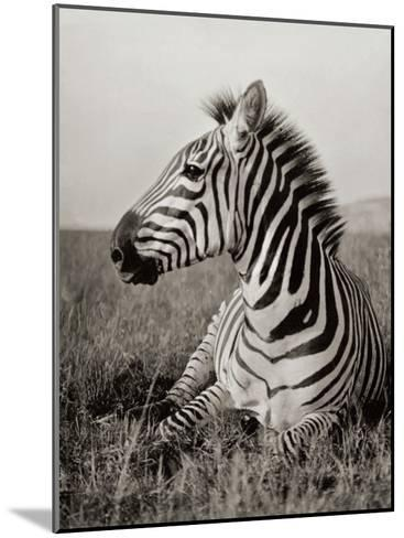 A Burchell's Zebra at Rest in the African Terrain-Carl E. Akeley-Mounted Photographic Print