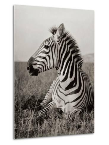A Burchell's Zebra at Rest in the African Terrain-Carl E. Akeley-Metal Print