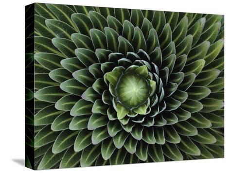 A Giant Lobelia Plant, Lobelia Telekii-George F^ Mobley-Stretched Canvas Print