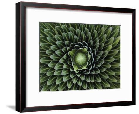 A Giant Lobelia Plant, Lobelia Telekii-George F^ Mobley-Framed Art Print