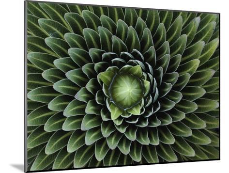 A Giant Lobelia Plant, Lobelia Telekii-George F^ Mobley-Mounted Photographic Print