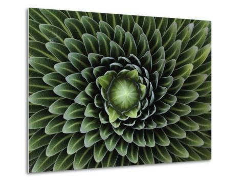A Giant Lobelia Plant, Lobelia Telekii-George F^ Mobley-Metal Print