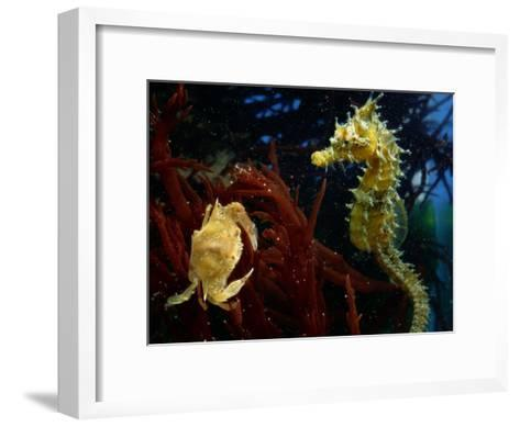A Spotted Young Blue Crab, Callinectes Sapidus, and a Sea Horse-George Grall-Framed Art Print