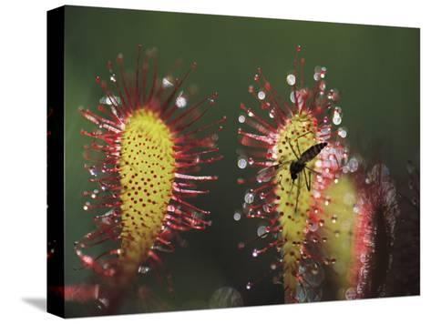 A Dead Mosquito Rests on an Insectivorous Round-Leaved Sundew Plant-Joel Sartore-Stretched Canvas Print