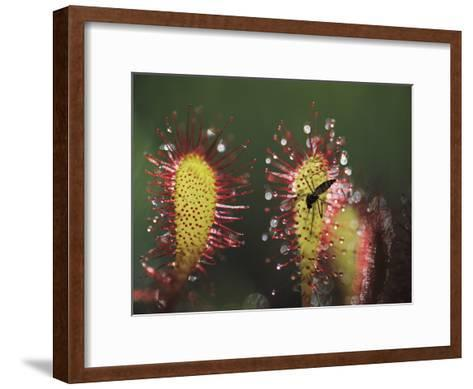 A Dead Mosquito Rests on an Insectivorous Round-Leaved Sundew Plant-Joel Sartore-Framed Art Print