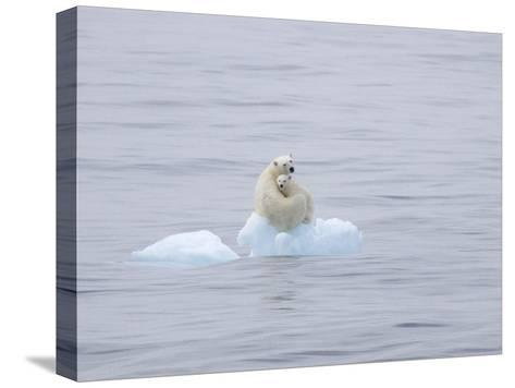 Polar Bear and Cub on a Floating Chunk of Ice-Ira Meyer-Stretched Canvas Print