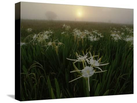 Spider Lilies Thriving on a Tallgrass Coastal Prairie-Raymond Gehman-Stretched Canvas Print