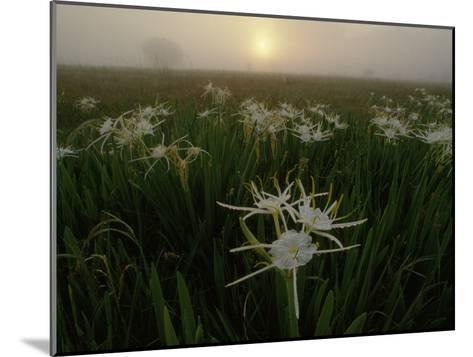 Spider Lilies Thriving on a Tallgrass Coastal Prairie-Raymond Gehman-Mounted Photographic Print
