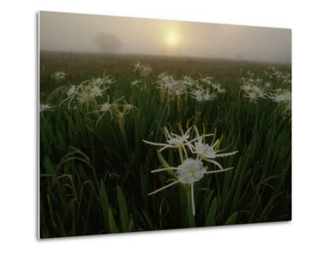 Spider Lilies Thriving on a Tallgrass Coastal Prairie-Raymond Gehman-Metal Print