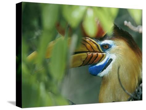 A Red-Knobbed Hornbill Perched Deep in a Rain Forest Canopy-Tim Laman-Stretched Canvas Print