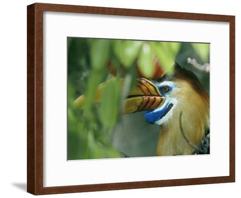 A Red-Knobbed Hornbill Perched Deep in a Rain Forest Canopy-Tim Laman-Framed Art Print