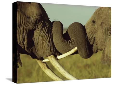 An Older Male African Elephant, Loxodonta Africana,Spars with a Younger One-William Thompson-Stretched Canvas Print
