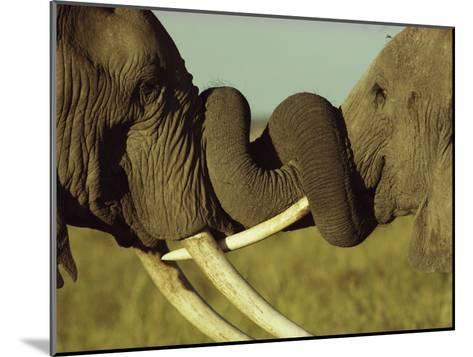An Older Male African Elephant, Loxodonta Africana,Spars with a Younger One-William Thompson-Mounted Photographic Print