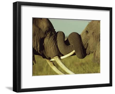 An Older Male African Elephant, Loxodonta Africana,Spars with a Younger One-William Thompson-Framed Art Print