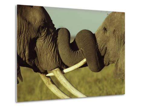 An Older Male African Elephant, Loxodonta Africana,Spars with a Younger One-William Thompson-Metal Print