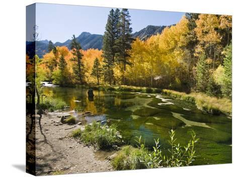 Aspen Trees Lining the Shallow Bed of a Mountain Stream-James Forte-Stretched Canvas Print