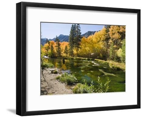 Aspen Trees Lining the Shallow Bed of a Mountain Stream-James Forte-Framed Art Print