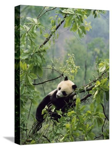 A Young Male Giant Panda, Ailuropoda Melanoleuca, Awaits its Mother-Lu Zhi-Stretched Canvas Print