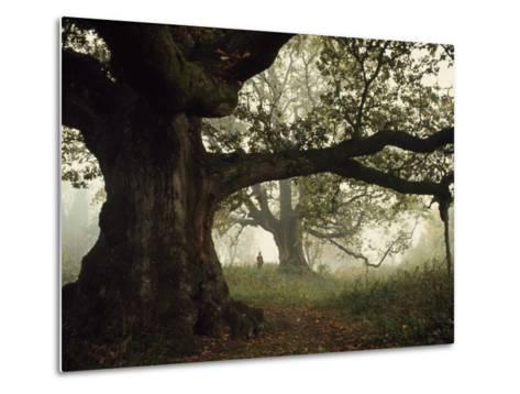 Ancient Trees Dwarf Visitors to Historic Great Birnam Wood-Dean Conger-Metal Print
