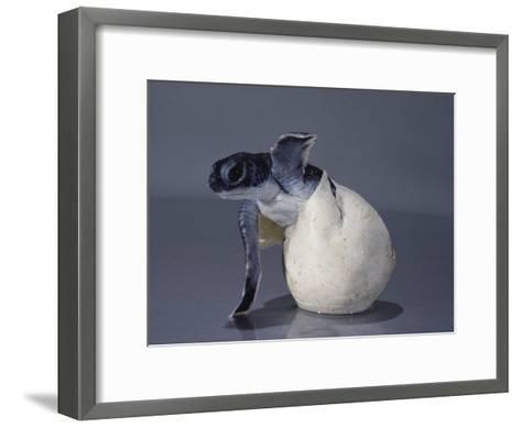 A Close View of a Hatching Endangered Green Sea Turtle-David Doubilet-Framed Art Print