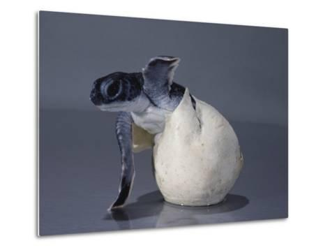A Close View of a Hatching Endangered Green Sea Turtle-David Doubilet-Metal Print