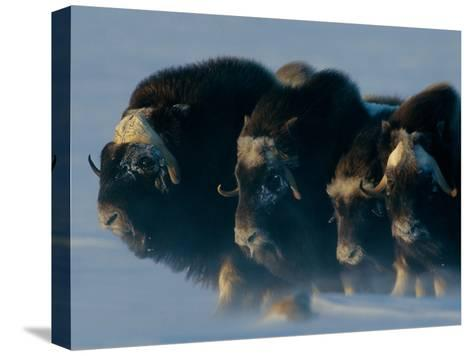 Musk-Oxen, Ovibos Moschatus, Huddle in a Protective Formation-Norbert Rosing-Stretched Canvas Print
