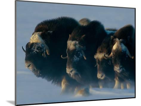 Musk-Oxen, Ovibos Moschatus, Huddle in a Protective Formation-Norbert Rosing-Mounted Photographic Print