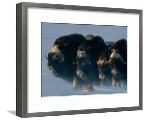 Musk-Oxen, Ovibos Moschatus, Huddle in a Protective Formation-Norbert Rosing-Framed Art Print