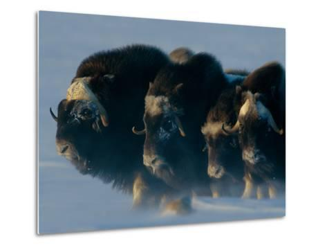 Musk-Oxen, Ovibos Moschatus, Huddle in a Protective Formation-Norbert Rosing-Metal Print