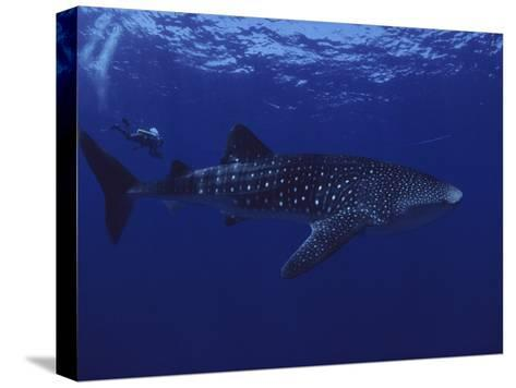 A Diver Swims with a 35-Foot-Long Whale Shark-David Doubilet-Stretched Canvas Print