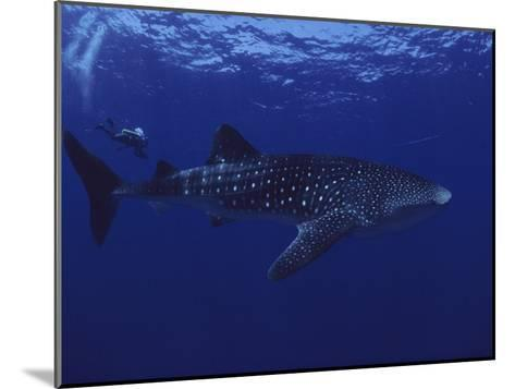 A Diver Swims with a 35-Foot-Long Whale Shark-David Doubilet-Mounted Photographic Print