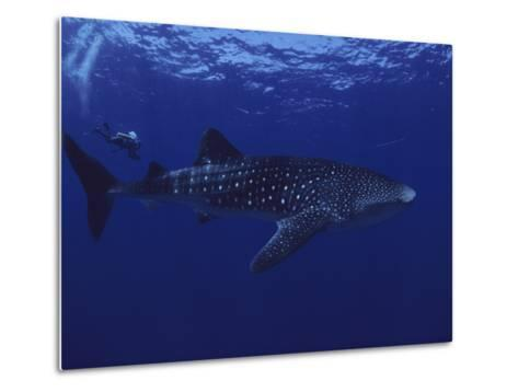 A Diver Swims with a 35-Foot-Long Whale Shark-David Doubilet-Metal Print
