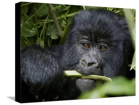 A Juvenile Gorilla Eating a Stalk-Beverly Joubert-Stretched Canvas Print