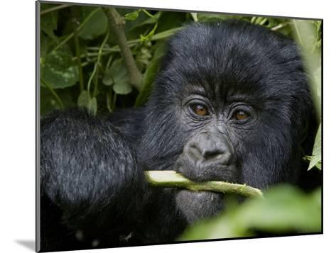 A Juvenile Gorilla Eating a Stalk-Beverly Joubert-Mounted Photographic Print