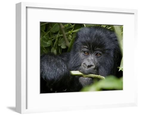 A Juvenile Gorilla Eating a Stalk-Beverly Joubert-Framed Art Print