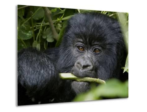 A Juvenile Gorilla Eating a Stalk-Beverly Joubert-Metal Print